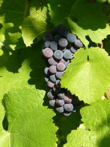 Grappe de Pinot-Noir